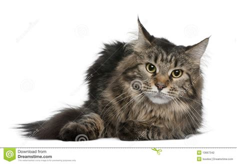 Maine coon, 1 year old stock photo. Image of front, brown