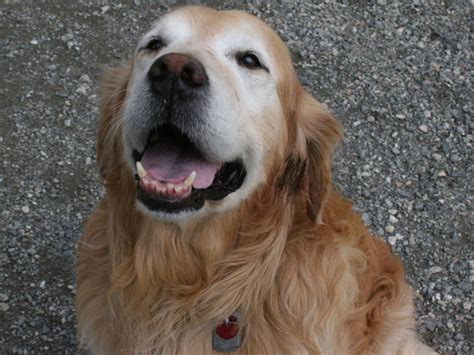 senior golden retriever senior golden retriever for adoption at forget me not animal shelter