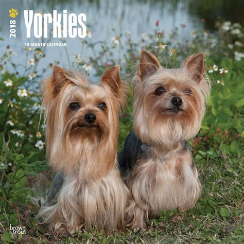 yorkie buy buy terrier intnl 2018 wall calendar by browntrout best price on