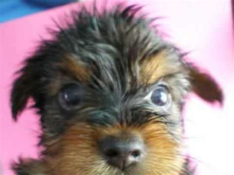 how to wash a yorkie puppy how to bathe a yorkie aquilla jones funnycat tv