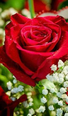 wallpaper bunga peach gambar bunga mawar hitam begitu cantik mawar hitam