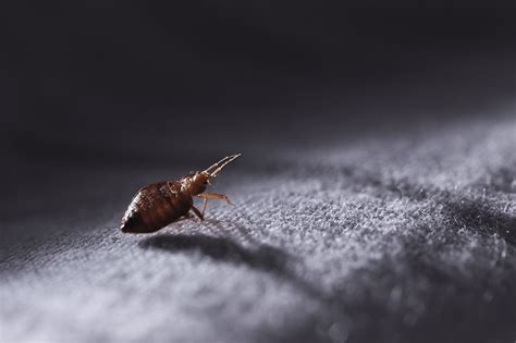 Exterminators For Bed Bugs bed bugs vermfree