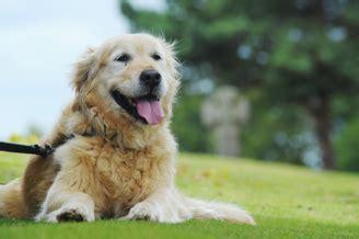 glenmore yorkies glenmore terriers