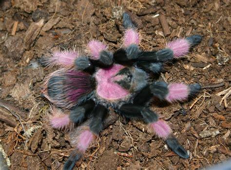 The Pink Tarantula tarantula mexican pink
