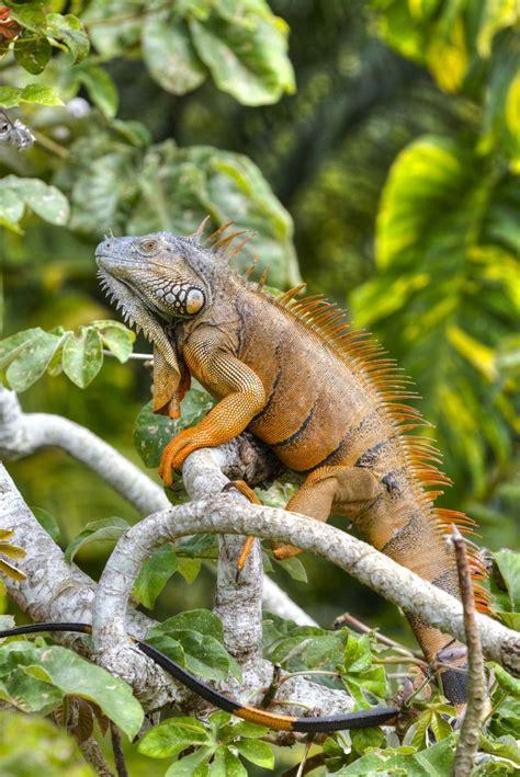 can iguanas change color best 20 green iguana ideas on iguanas blue