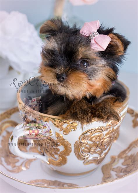 yorkie puppies for sale miami terrier puppy for sale south florida teacups puppies boutique
