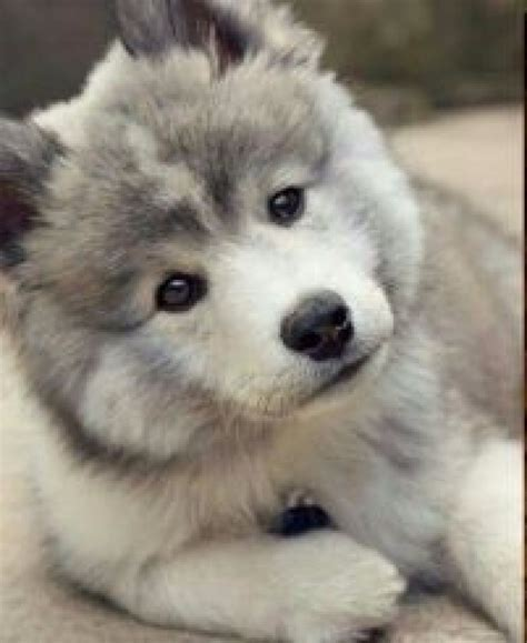 pomsky a complete guide on the husky pomeranian mix