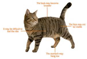 pregnant cat signs time in your cat s life