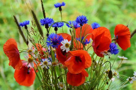 bukiet polnych kwiatow maki chabry rumianki