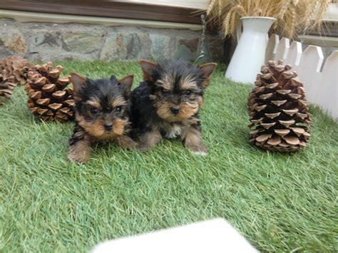perros yorkie en venta sevilla archives criadero cantillana