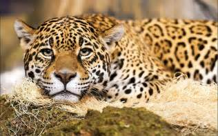 Photos Of Jaguar Jaguar Wallpaper And Background 1680x1050 Id 328985