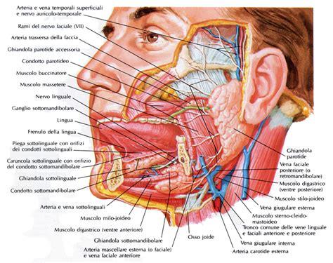 arteria mascellare interna parotide medicinapertutti it