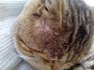 mon chat a t il la gale question soigner chat wamiz