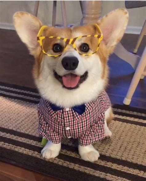 baby dont laugh at me best 25 corgi costume ideas on corgi puppies