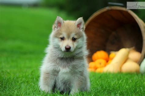 pomeranian husky for sale nc pomeranian husky puppies for sale in nc breeds picture