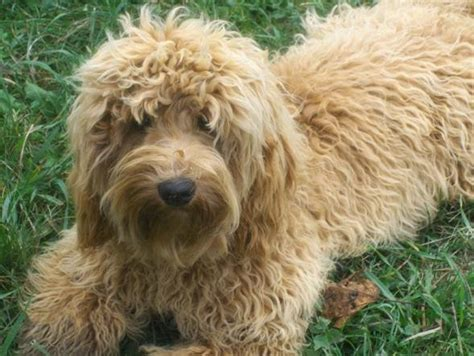 how much are labradoodle puppies saved by dogs cross labrador poodle labradoodle