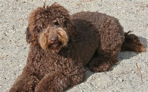 female labradoodle hair styles 56 best images about labradoodle haircut on pinterest
