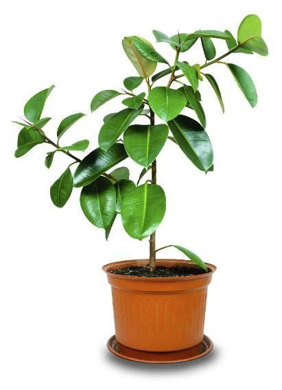best indoor plants for oxygen 17 best images about indoor plants that clean the air on