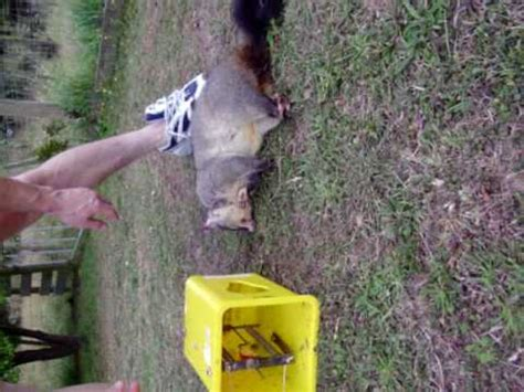 how to get rid of a possum in backyard possum trying to get into roof doovi