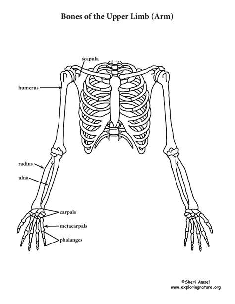 Arm - Upper Limb