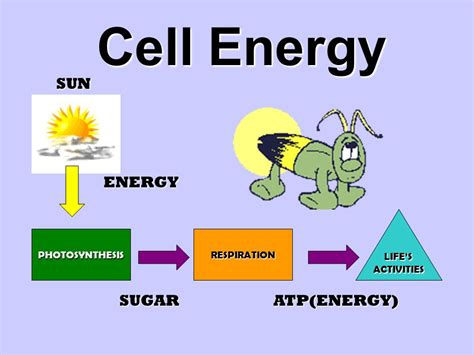 cell energy photosynthesis and respiration section 6 1 answers cell energy sun energy sugar atp energy life s activities