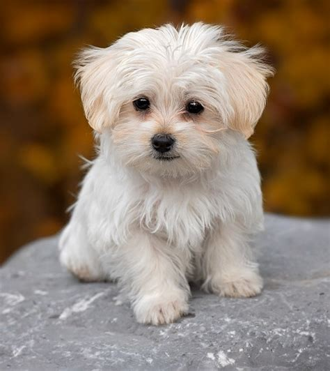 best small breed dogs best 50 small breeds for apartments platpets resources for your pet