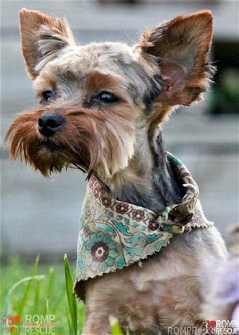yorkie rescue tennessee terrier pet rescue dogs our friends photo