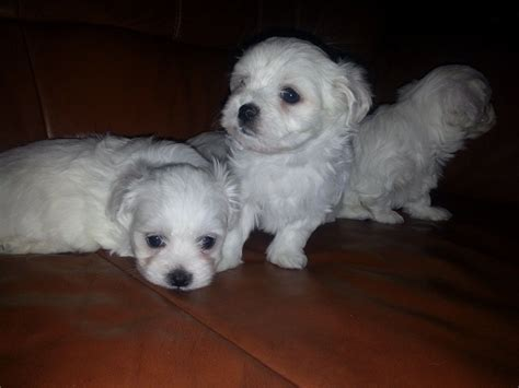maltese puppies for sale maltese puppies for sale just two puppies left