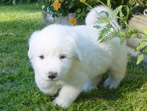 great pyrenees puppy pyr puppy pics 16 at milk honey farm