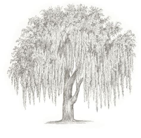 Large Wall Art For Living Room by Weeping Willow Tammy Liu Haller Drawings