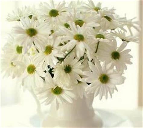 Pupuk Yang Baik Untuk Bunga Krisan tanaman di pot tanaman krisan