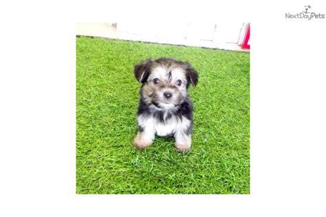 teacup yorkie for sale in san diego yorkiepoo yorkie poo puppy for sale near san diego california 17d951d2 44b1