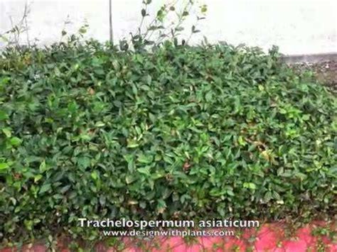 Aisya Syari trachelospermum asiaticum asian