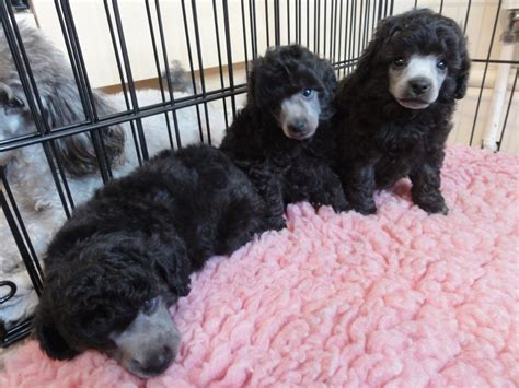 silver poodle puppy silver poodle puppies wallasey merseyside pets4homes