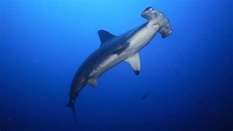 images of sharks hammerhead shark wallpapers animal hq hammerhead shark