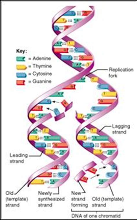 each human chromosome is replicated in about sections cells division