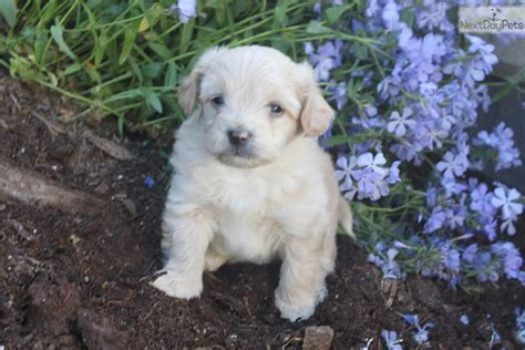 pomapoo puppies for sale near me poma poo pomapoo puppy for sale near york pennsylvania 10b12f78 c561