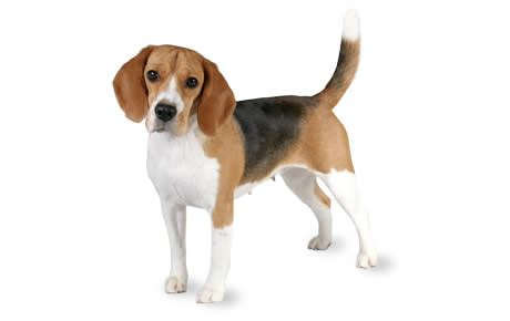 what does a walker hound dog look like beagle caract 232 re origine prix 233 ducation et conseils