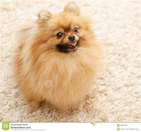 small tiny pomeranian sitting on carpet stock photo image 38972150