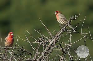 california finches house finch and lesser goldfinch