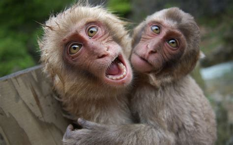 monkey and 25 funniest pictures of monkeys picsoi