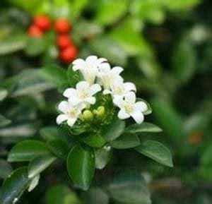Kebun Bibit Tanaman Kemuning Jepang jual bibit unggul tanaman kemuning jepang bibit
