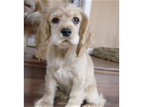cocker spaniel puppies for sale in sc cocker spaniel puppies for sale