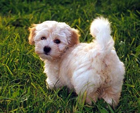 havanese breeders in ny havanese puppies available on island new york top breeder s puppies call us at