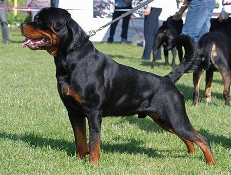 fotos de perros rottweiler rottweiler razas de perros webanimales