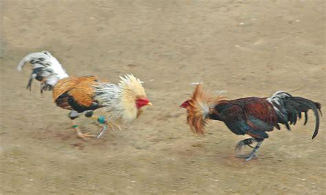 peleas de gallos el tope pelea de gallos taringa