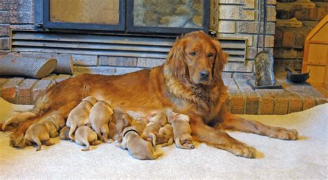 golden retriever litter size litters sharptail ridge golden retrievers