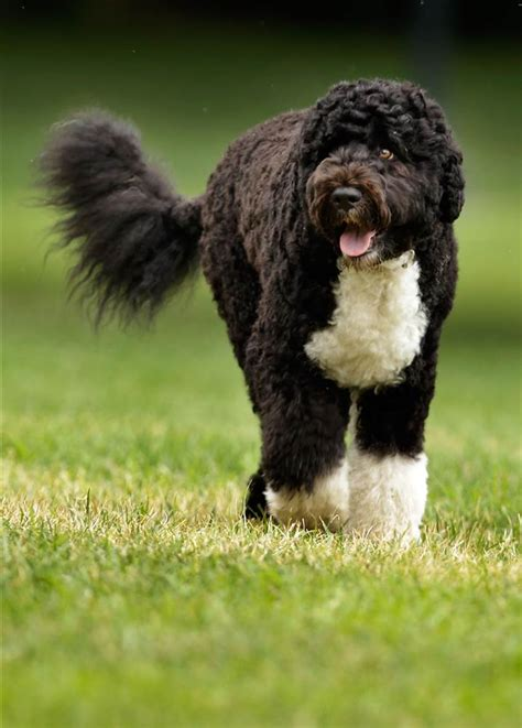obama dogs dakota arrested after saying he planned to abduct obama bo nbc news