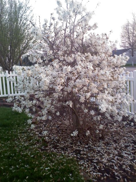 when to prune flowering shrubs landscape planning when to prune flowering shrubs