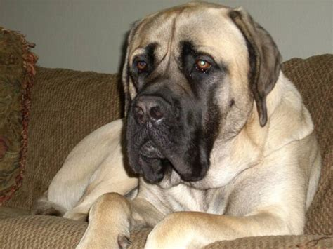 american mastiff puppies photo photo